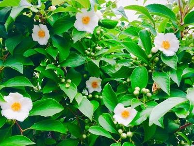 沙羅双樹の花、満開です!